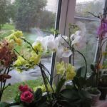 Это средство — настоящая находка для всех любителей орхидей! Чрезвычайно пышное цветение…